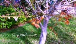 March Chinese Maple
