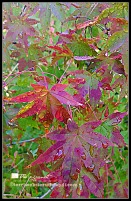 Chinese maple leaves in close-up after the rain