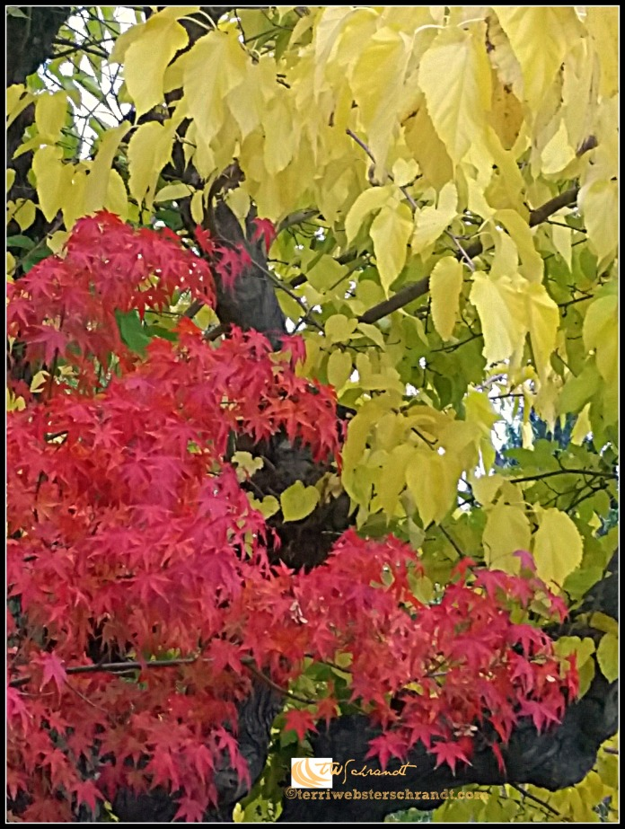 Maple and Mulberry Trees